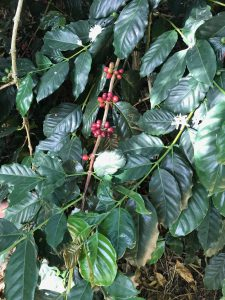 Arabia coffee cherry