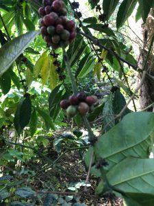 Robusuta coffee cherry