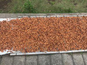 dray cacao2