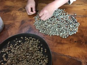 hand picking coffee beans